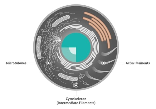 Cytoskeleton markers proteintech group cell illustrating the three different cytoskeleton structure proteins ccuart Images