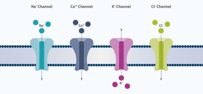 Ion Homeostasis | Proteintech Group