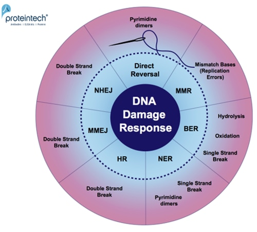 DNA damage repair markers   Proteintech Group