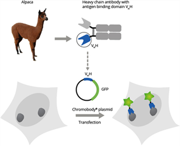 A Chromobody is a genetic fusion of a target-specific VHH from alpaca and a fluorescent protein (TagRFP or TagGFP, EGFP)