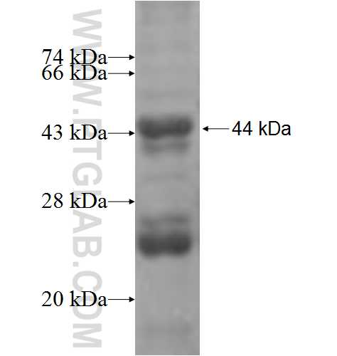 PEX1 fusion protein ag5160 SDS-PAGE