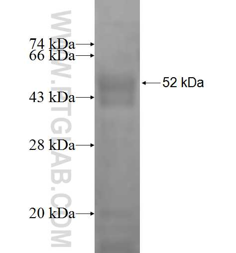 PEX3 fusion protein ag1384 SDS-PAGE