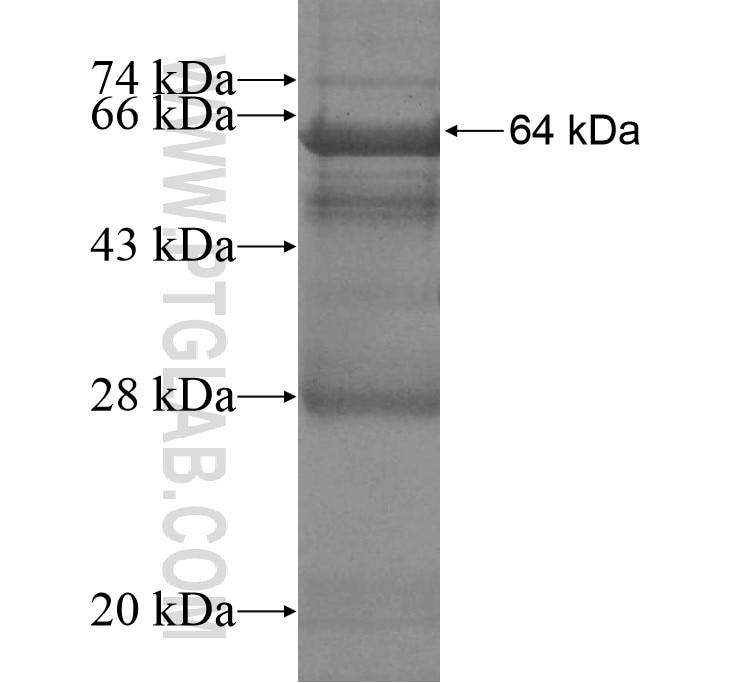4921513D23Rik fusion protein Ag13709 SDS-PAGE
