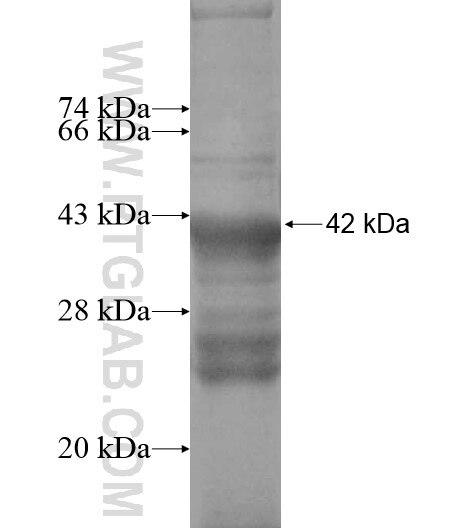 4921513D23Rik fusion protein Ag13711 SDS-PAGE