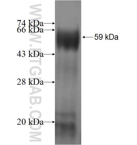 ABTB1 fusion protein Ag1574 SDS-PAGE