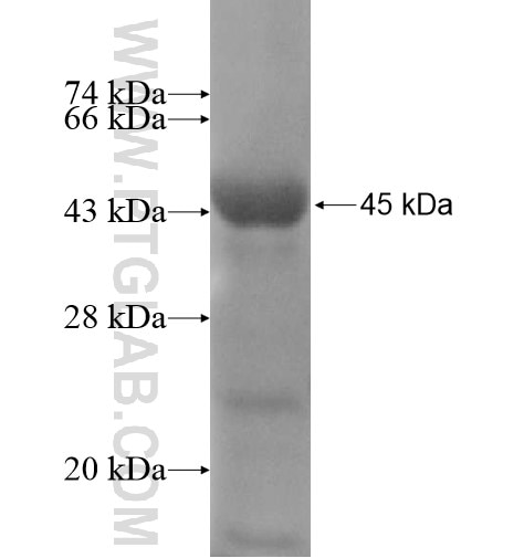 ACAP3 fusion protein Ag11801 SDS-PAGE