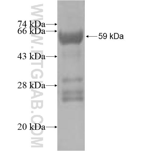 ACBD3 fusion protein Ag5228 SDS-PAGE