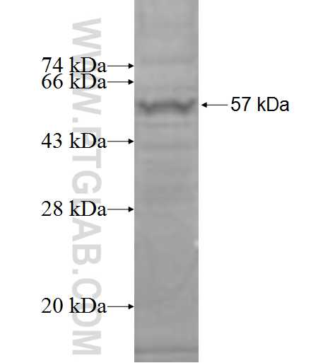 ACOT2 fusion protein Ag8093 SDS-PAGE