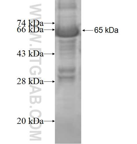 ACOT7 fusion protein Ag8759 SDS-PAGE