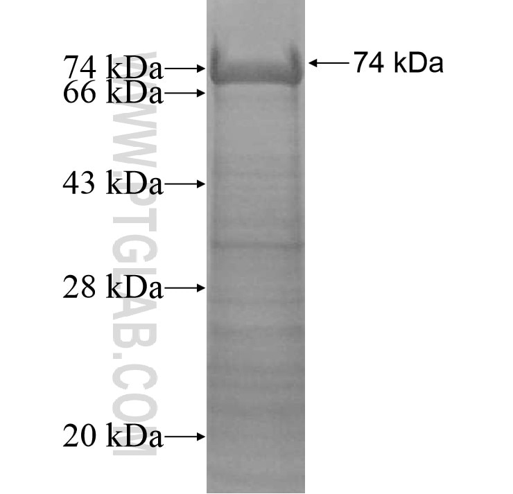ACTR10 fusion protein Ag13612 SDS-PAGE