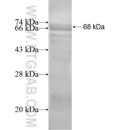 ACTR1B fusion protein Ag1467 SDS-PAGE