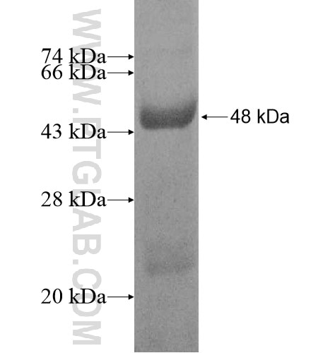 ACTRT1 fusion protein Ag10632 SDS-PAGE