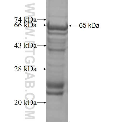 ACVR1C fusion protein Ag3162 SDS-PAGE