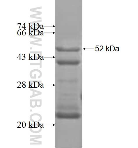 ADAMTS12 fusion protein Ag3480 SDS-PAGE