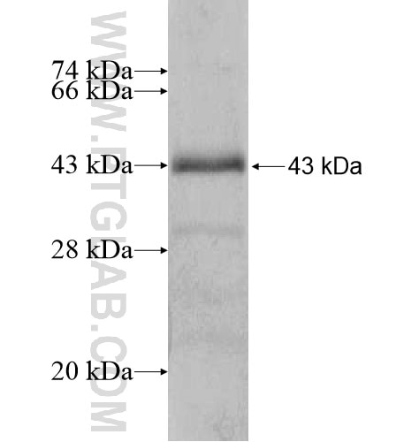 ADAMTSL1 fusion protein Ag14642 SDS-PAGE