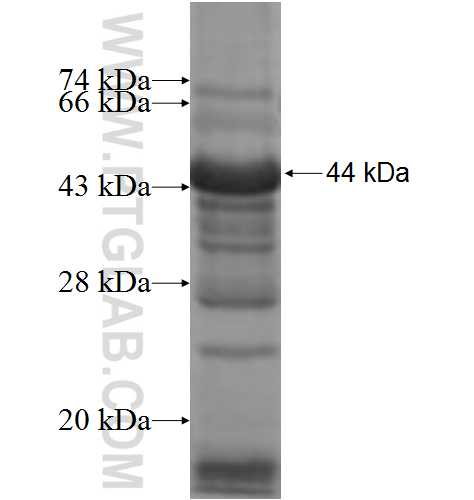 ADCY6 fusion protein Ag6230 SDS-PAGE
