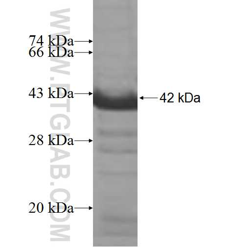 ADD2 fusion protein Ag6345 SDS-PAGE