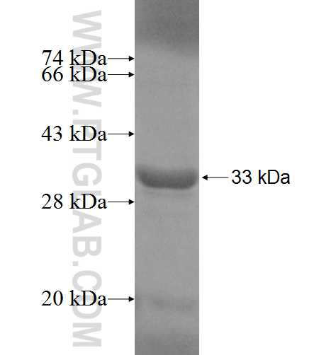 ADHFE1 fusion protein Ag6803 SDS-PAGE