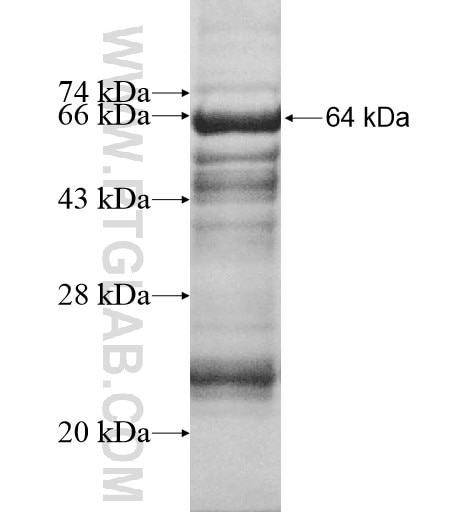 ADNP2 fusion protein Ag12327 SDS-PAGE