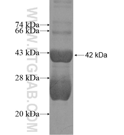 ADORA2A fusion protein Ag10781 SDS-PAGE