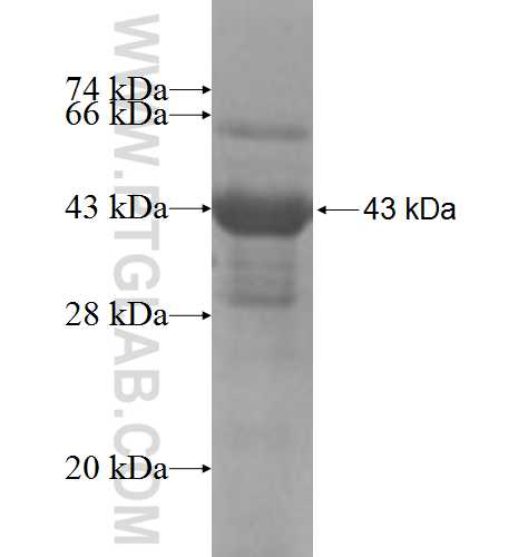 AFF4 fusion protein Ag6476 SDS-PAGE
