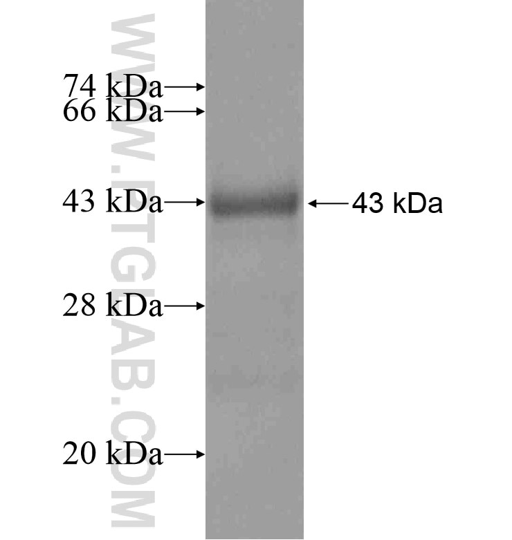 AFM fusion protein Ag16866 SDS-PAGE