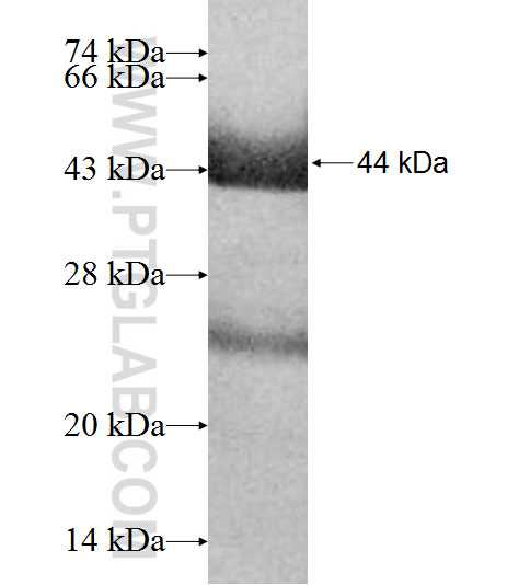 AGL fusion protein Ag9944 SDS-PAGE