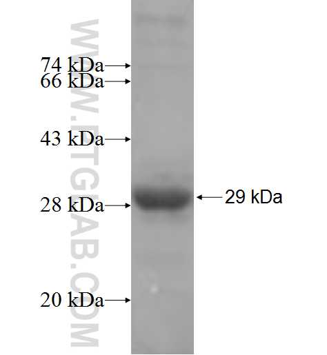 AIFM3 fusion protein Ag6278 SDS-PAGE