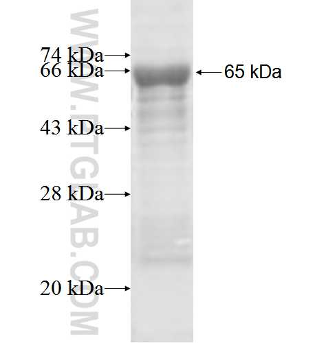 AIPL1 fusion protein Ag4625 SDS-PAGE