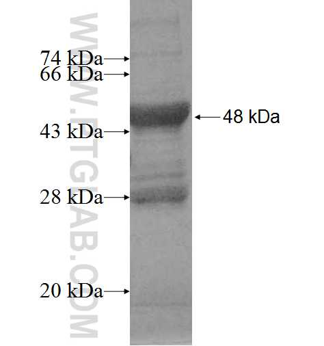 AK2 fusion protein Ag1464 SDS-PAGE