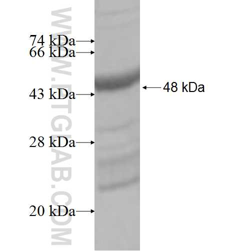 AKIRIN2 fusion protein Ag6687 SDS-PAGE
