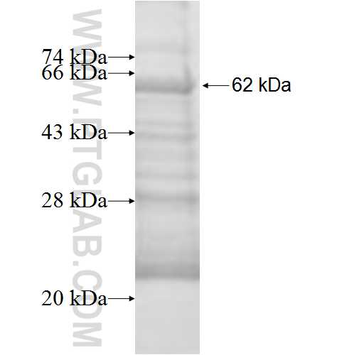 ALAS1 fusion protein Ag9126 SDS-PAGE
