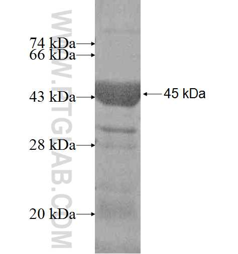 ALDOC fusion protein Ag6779 SDS-PAGE