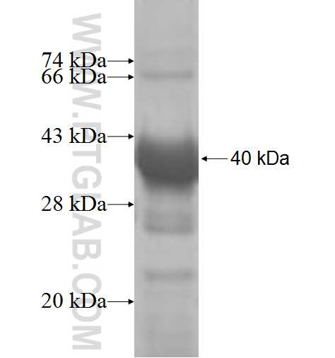 ALG5 fusion protein Ag8990 SDS-PAGE