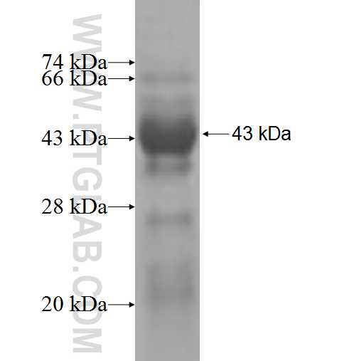 AMBRA1 fusion protein Ag4735 SDS-PAGE