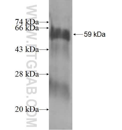 AMT fusion protein Ag0990 SDS-PAGE