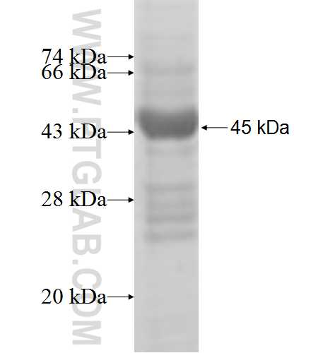 AP1S2 fusion protein Ag6911 SDS-PAGE