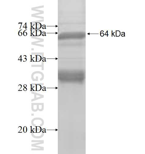 AP2A2 fusion protein Ag8442 SDS-PAGE