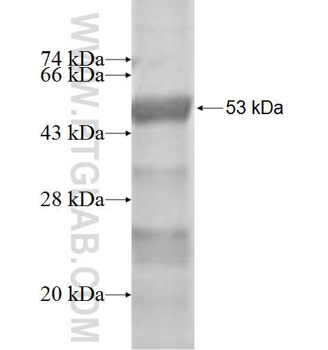 APIP fusion protein Ag2729 SDS-PAGE