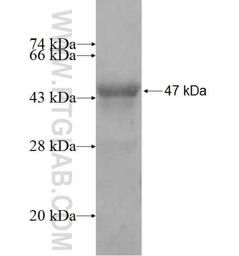 ARFGAP2 fusion protein Ag9676 SDS-PAGE