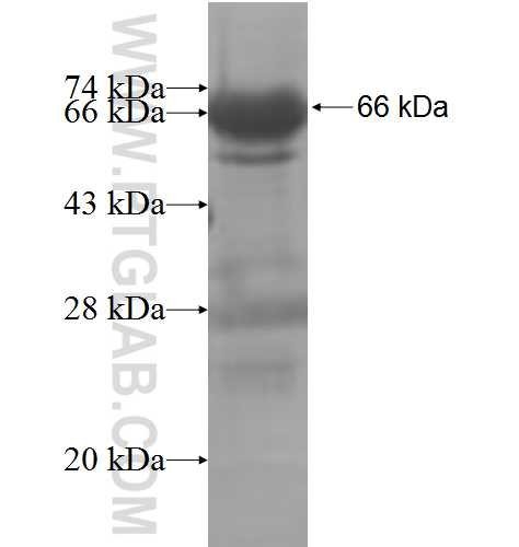 ARFGAP3 fusion protein Ag7536 SDS-PAGE