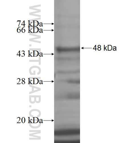 ARFGAP3 fusion protein Ag7638 SDS-PAGE