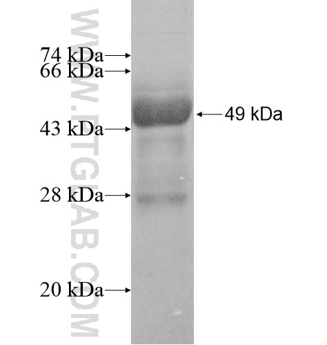 ARFRP1 fusion protein Ag12036 SDS-PAGE