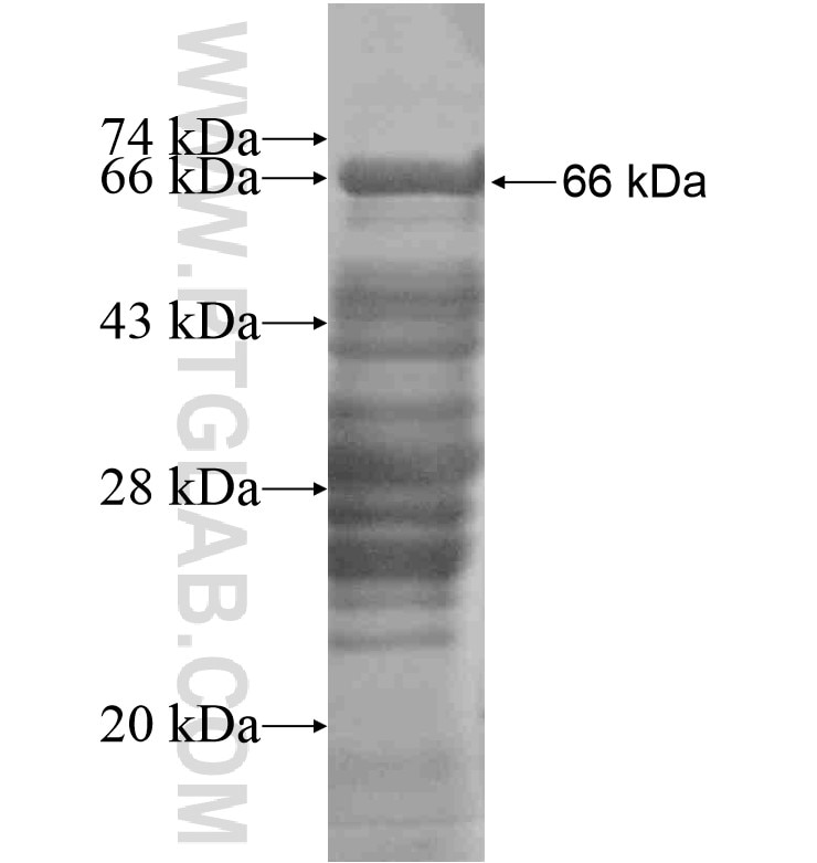 ARHGAP21 fusion protein Ag16515 SDS-PAGE