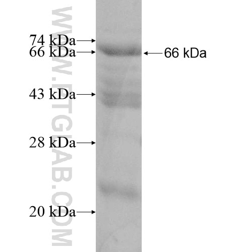 ARHGAP26 fusion protein Ag12008 SDS-PAGE
