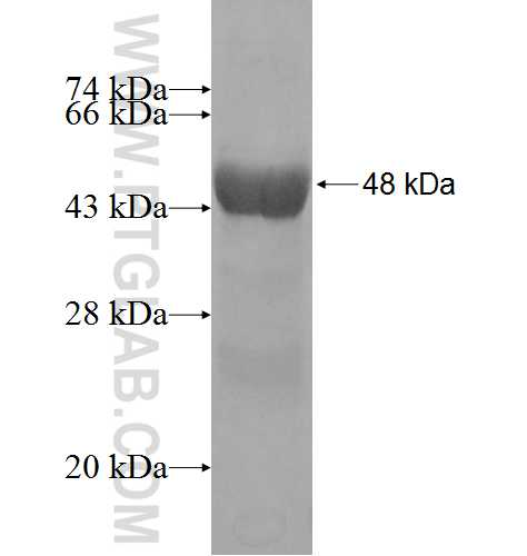 ARL14 fusion protein Ag3684 SDS-PAGE