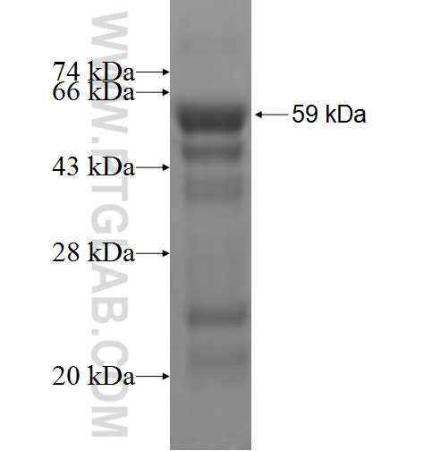 ARNTL fusion protein Ag5586 SDS-PAGE