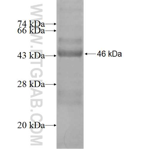 ARPC4 fusion protein Ag1366 SDS-PAGE
