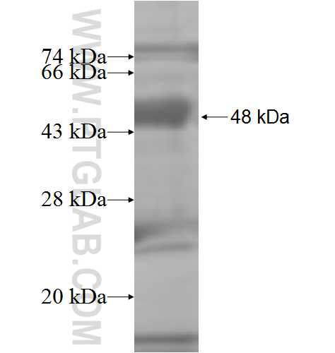 Arrestin fusion protein Ag7504 SDS-PAGE