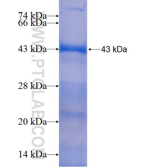 ARSF fusion protein Ag9717 SDS-PAGE